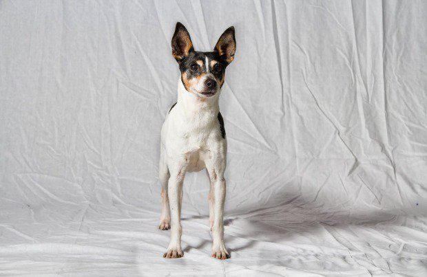 Learn all about Rat Terriers here.