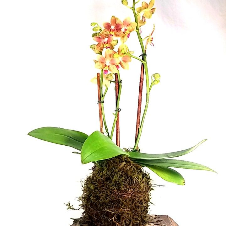 122 best images about kokedama orchids on pinterest arizona jewel orchid and horticulture. Black Bedroom Furniture Sets. Home Design Ideas