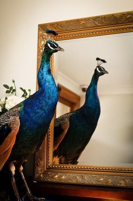 My peacock Charlie, a big feature in the Viktoria Novak studio!