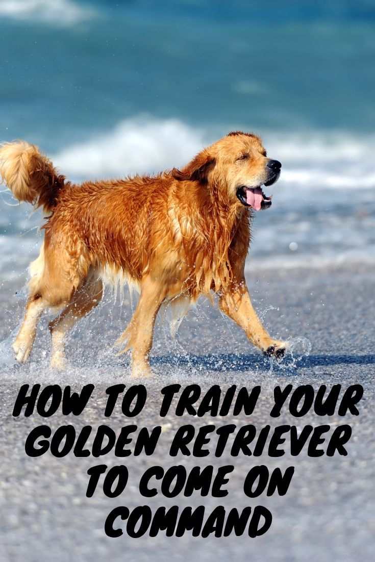 How to train your golden retriever to come on command