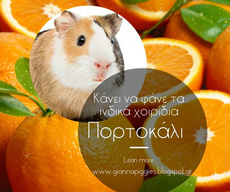 Can guinea pigs eat orange? Κάνει να φάνε τα ινδικά χοιρίδια πορτοκάλι? Learn more www.giannapiggies.blogspot.gr