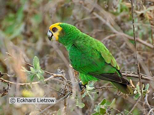 Yellow-faced parrot (poicephalus flavifrons flavifrons) | Äthiopien 2005