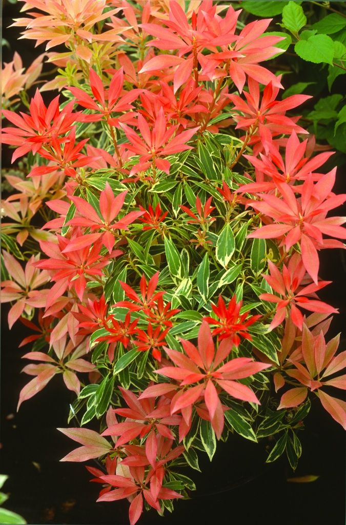 The same is true of Pieris japonica ' Flaming Silver', a cultivar with boring variegated foliage, but which bursts forth with dramatic red new growth. Description from florawonder.blogspot.co.uk. I searched for this on bing.com/images