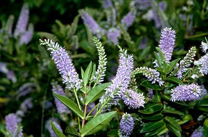 hebe sapphire  - glossy deep green foliage  - sapphire blue flowers all Summer  - easy to grow  - hardy   Free branching, mound forming evergreen shrub with deep green glossy leaves which have a distinctive crumpled appearance, stems are deep red and contrast with foliage. From late June dense racemes of clear blue flowers are produced in large numbers.  hardy and easy to grow, it can be used in a pot or a border  responds well to trimming so could also be used for an informal low hedge.