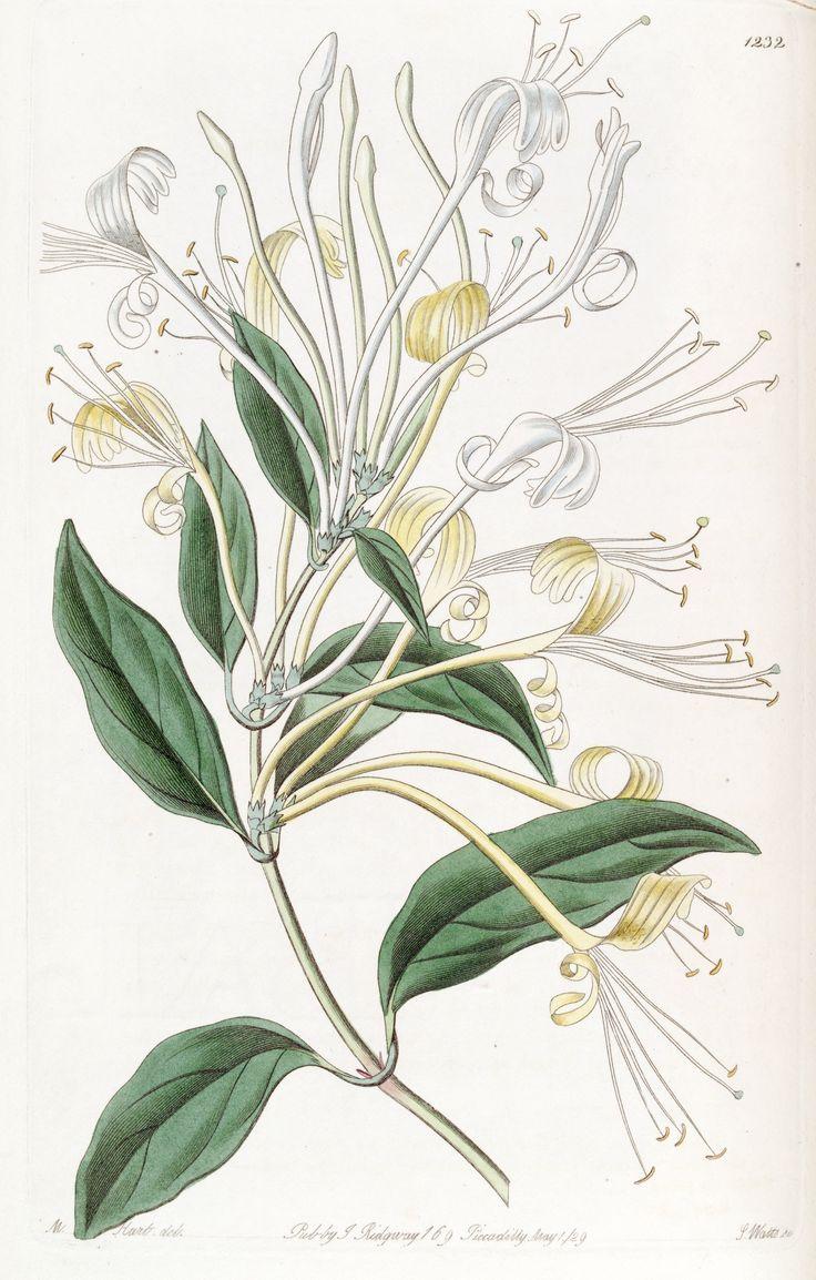 honeysuckle bush illustration - Google Search