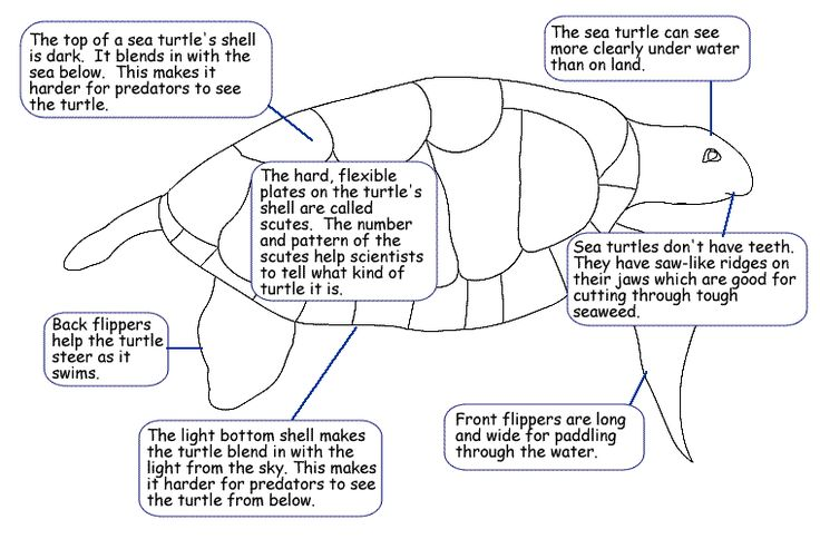 Hawksbill Sea Turtle Diagram
