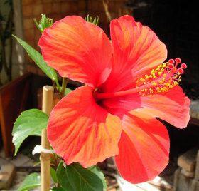 """En Afrique, les bienfaits de la tisane des fleurs d'hibiscus sabdariffa sont bien connus. """"médicament"""" naturel foie, fatigue, digestion, tension artérielle"""