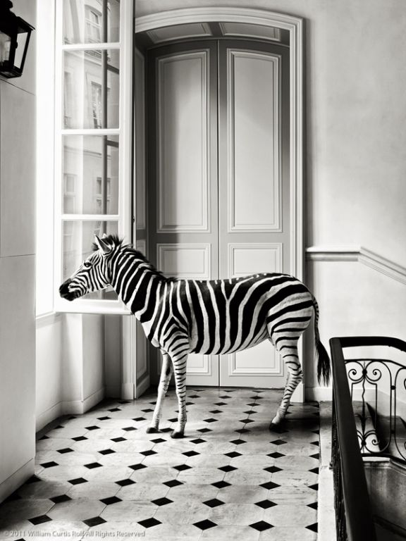 Zebra.in black and white room