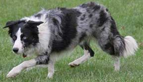 Blue merle Border Collie.  Look at the intensity and focus of those blue eyes!