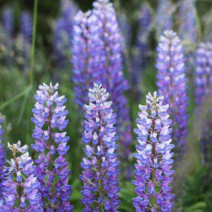 RUSSELL LUPIN BLUE SKY - Garden Express