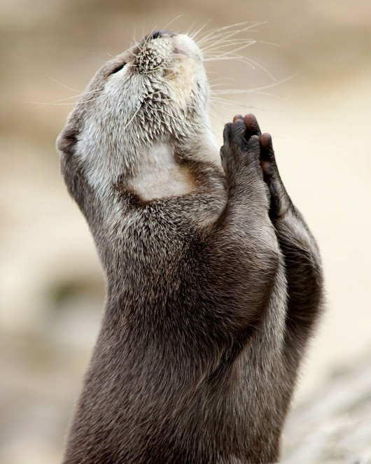 """Otter Casts Worries To The Heavens. SO CUTE! """"God, please stop human from polluting my creek, please stop global warming, and... please let the clams be easy to crack today... amen"""" ;)"""