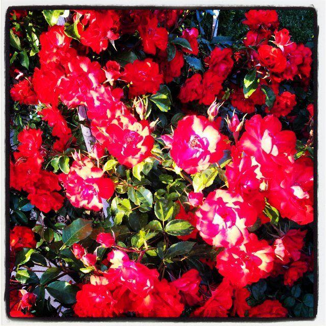 Afternoon Roses - Galaxy II internal camera, Instagram