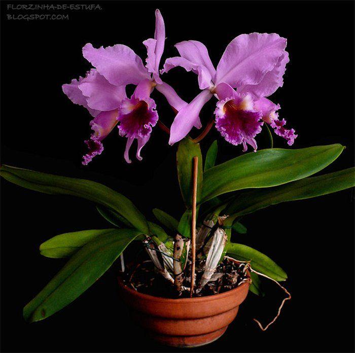 Картинки по запросу орхидея каттлей