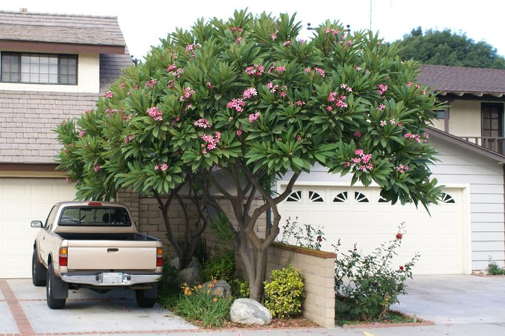 They blossom in bunches upon beautifully-shaped plumeria trees in many different colors. Description from pinterest.com. I searched for this on bing.com/images