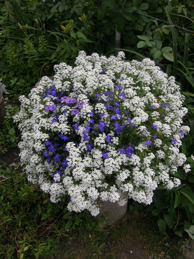 white alyssum (Lobularia Snow Princess and lobeliya)