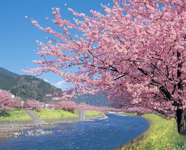 この画像は「一足早く伊豆でお花見!河津桜まつりの桜並木が綺麗すぎる♡」のまとめの9枚目の画像です。