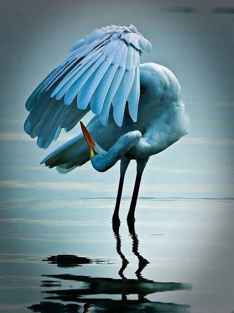 Beautiful blue stork?