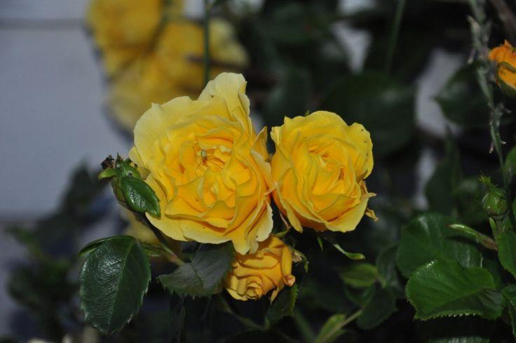 Gule roser hagen