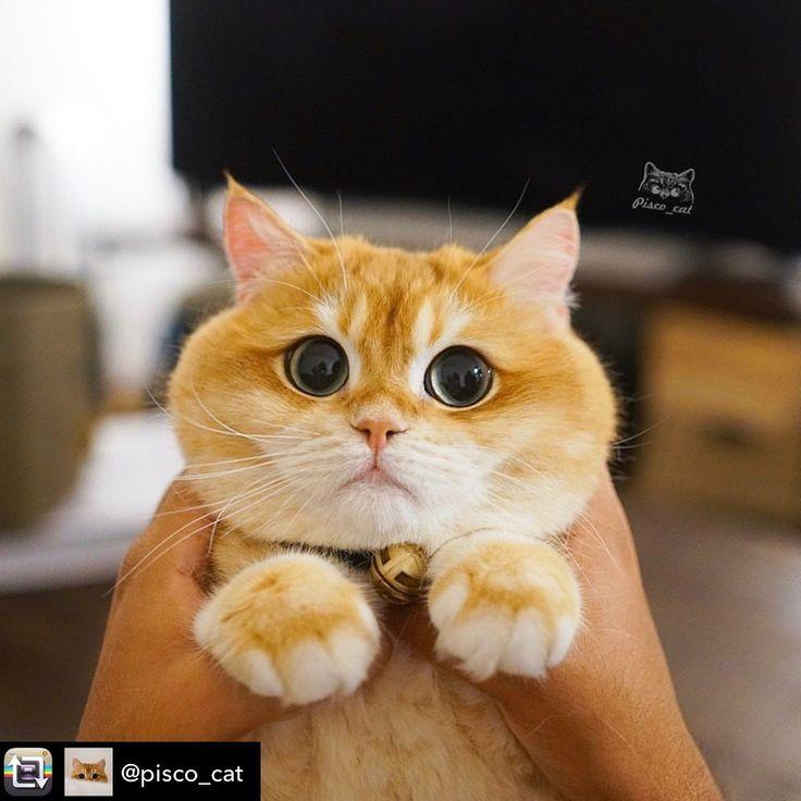 Repost from snuggleworthpets pisco_cat using