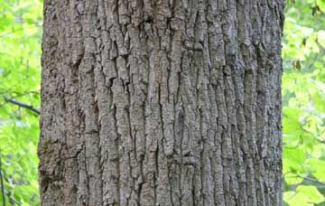 Kentucky State Tree - Tulip Poplar (trunk of Tulip Polplar, showing bark)