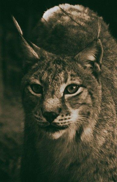 Lynx, lynx d'Europe, lynx boréal, loup cervier, lynx lynx, félidés, mammifères, vertical, photo hervé Christophe, www.panorama-volcanic.fr