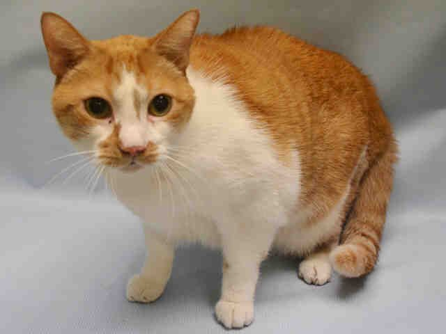 ROMANCE - A1096505 - - Manhattan  Please Share:***TO BE DESTROYED 11/15/16***SENIOR BOY DUMPED FOR A NEW BABY!! NOT A HAPPY CAMPER AND NEEDS RESCUE ANGEL!! -  Click for info & Current Status: http://nyccats.urgentpodr.org/romance-a1096505/