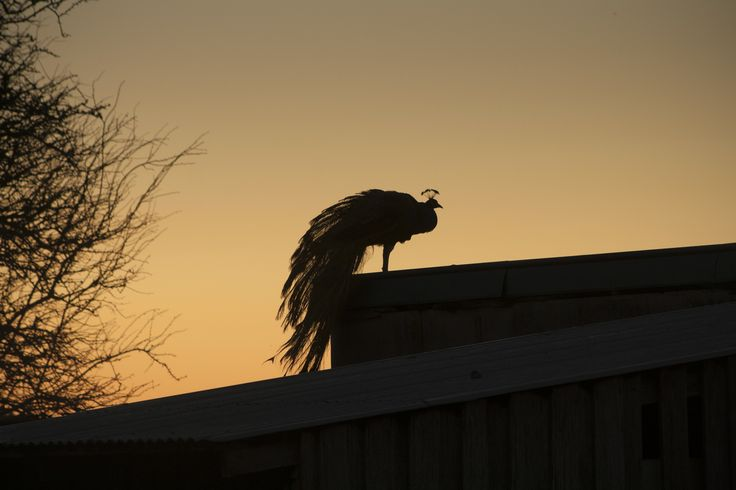 Peacock Silhouette, by EVM Pet and Nature Photography, Deloraine, Tasmania