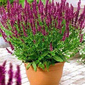 Salvia nemorosa Pink Friesland -29  40-60см