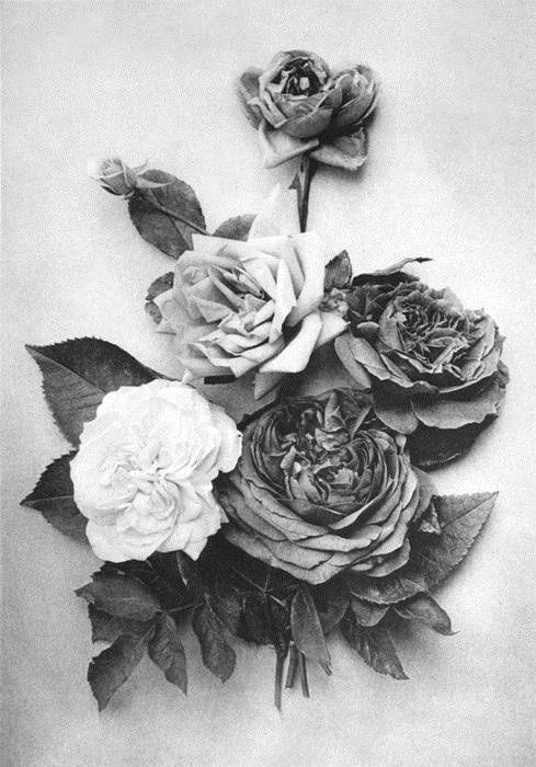 photography Black and White horror dark flower morbid rose