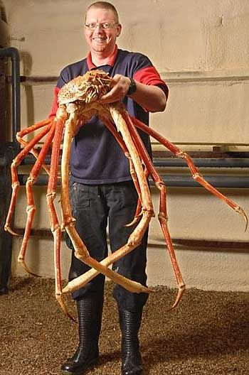 The red king crab can become very large, with a carapace measuring up to 11 inches (28cm) in width. Their leg span is very long, at 6 feet (1.8m). They naturally live in the Bering Sea, between St. Lawrence Island and the Aleutian Islands. Thats alot of crab meat lol
