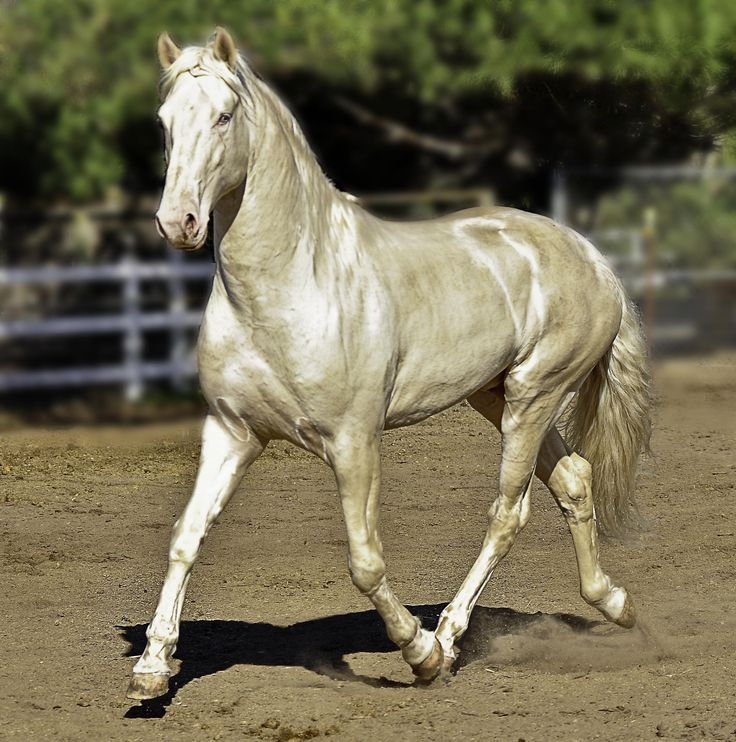 Mustang Dorado >> Cremello Lusitano Stallion, Caetano | Abacus Farms | Pinterest | Horses and Horse classifieds