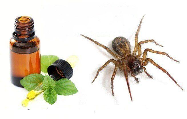 A las arañas no les gusta el olor a Menta. Procedimiento: Sólo tienes que rellenar una botella de spray con agua del grifo y añadir 10-15 gotas de aceite esencial de menta. Huele después para asegurarte de que el agua huele a menta, si no, añade unas gotas más. Luego, sólo hay que rociar el …