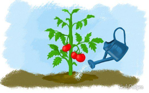 Always water your tomato plants at the base, not from the top.