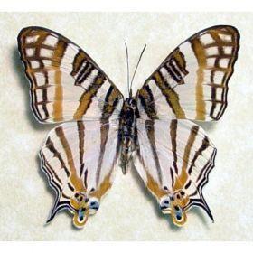 Vlinders :: Cyrestis camillus