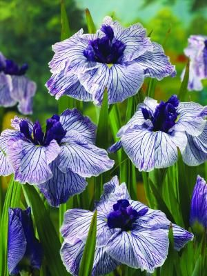 Iris ensata 'Ruffled Dimitry'  Japanese water iris adds a lovely accent to summer water gardens when grown in a partly submerged container Zones 4-9