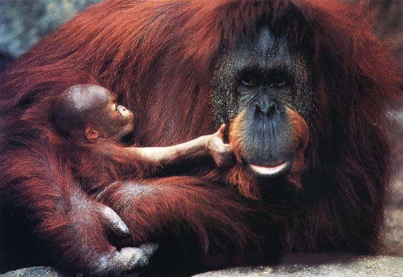 "Orangutans are great apes, belonging to the taxonomic family ""Hominidae."" Scientists recognize two distinct species of orangutans:Pongo pygameus on Borneo, and Pongo abelii on Sumatra.  The Bornean orangutan, Pongo pygmaeus, is further subdivided into three subspecies: P. pygmaeus morio in East Kalimantan and Sabah, P. pygmeus pygmaeus in Sarawak and the northwest part of West Kalimantan, and P. pygmaeus wurmbii in Central Kalimantan and the southwest part of West Kalimantan."