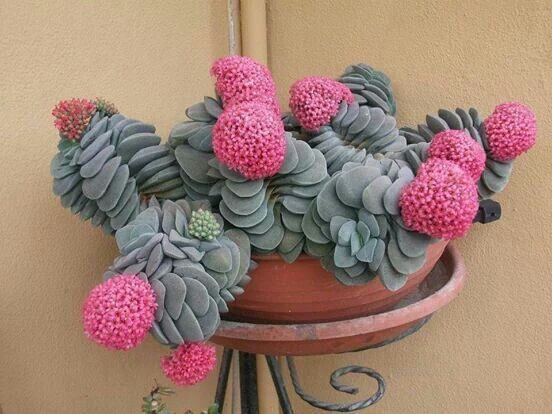 Blooming Crassula