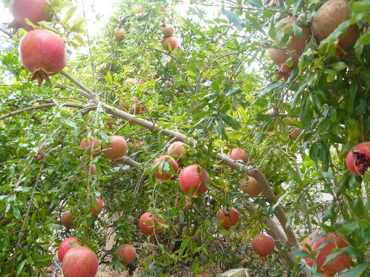504 best images about ORCHARDS on Pinterest | Trees, Peach ... Persian Pomegranate Trees For Sale