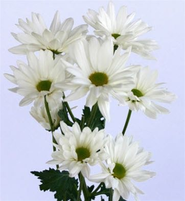 Wholesale Flowers Online | Online Wholesale Bulk Discount White Daisy Poms Flowers