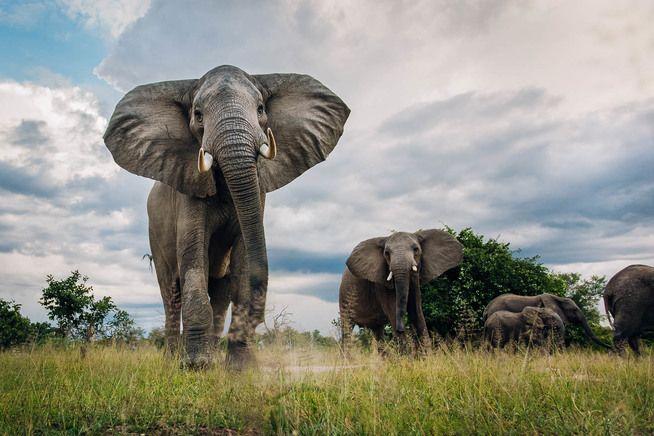 elephants south luangwa zambia timbuktu