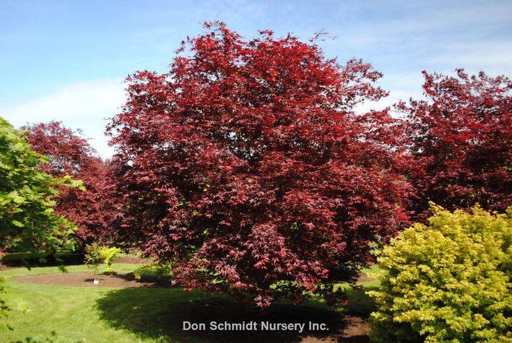 Acer palmatum Wolff/ Emperor 1   Wholesale Nursery Supplies & Plant growers in Oregon   Nursery Guide