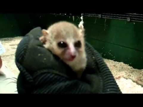 Mouse Lemurs @ Duke Lemur Center