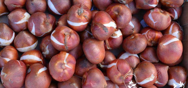 Хранение луковиц тюльпанов – где и как правильно?