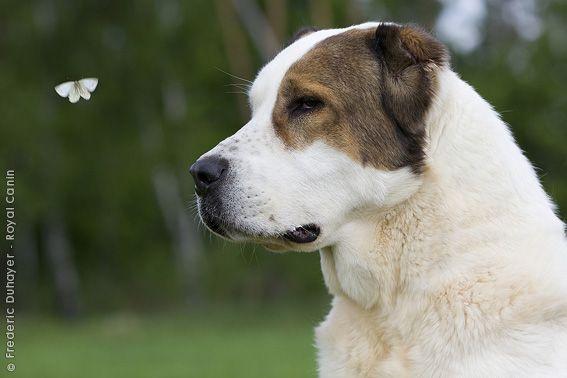 Central Asian Shepherd Dog / Ovcharka / Sredneaziatskaya Ovtcharka