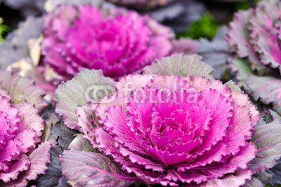 Zdjęcia na płótnie, fototapety, obrazy : Purple lettuce plant