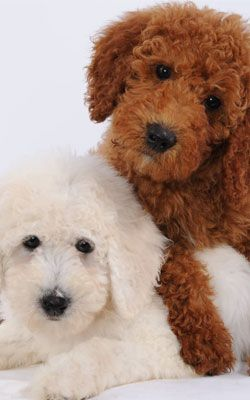 brown goldendoodle!These have got to be some of the cutest dogs ever