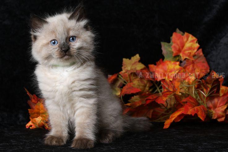 2016: Dino A Zwollywood Cat. 7 Weeks old Ragdoll kitten, seal colourpoint. Flintstones litter.