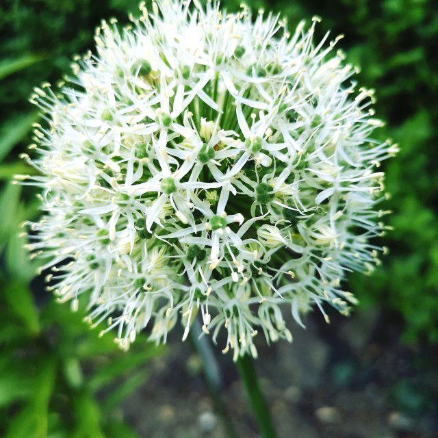White Allium Flower By Louisa Jennings Flowers Allium Flowers Flowers Photography