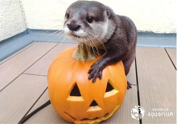 """Halloween otter - """"It's nice, but....but...do I get to eat it?"""""""