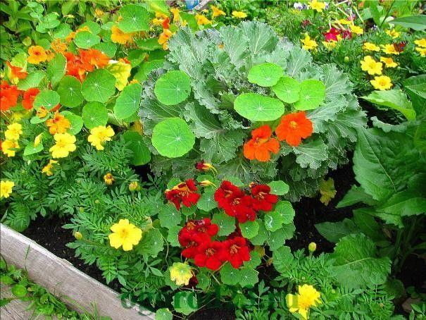 Однолетние цветы, цветущие все лето без рассады - название и фото настурции